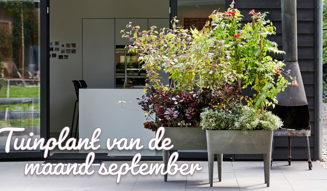 Indian Summer: tuinplanten van de maand september 2019