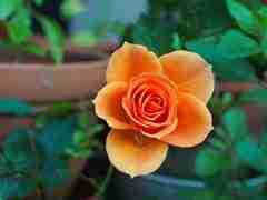 De beste bemesting voor jouw tuin is organische meststof. Een goede bloem om deze maand in de gaten te houden voor bemesting is de roos. Snoei eventue