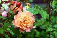 De tuin is nu volop in groei en bloei. Daarom kunnen planten extra mest nu goed gebruiken. Voor veel plantgroepen bestaat er een speciale mest. Denk b