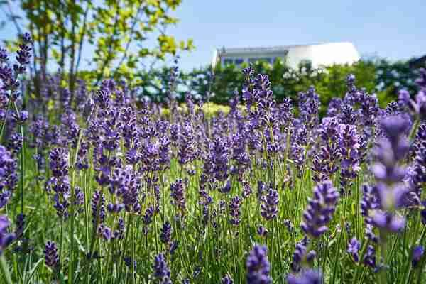 bloeiende lavendels op een zonnige middag